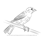 How to Draw a Eurasian Tree Sparrow