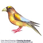 How to Draw a Evening Grosbeak