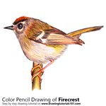 How to Draw a Firecrest