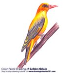 How to Draw a Golden oriole
