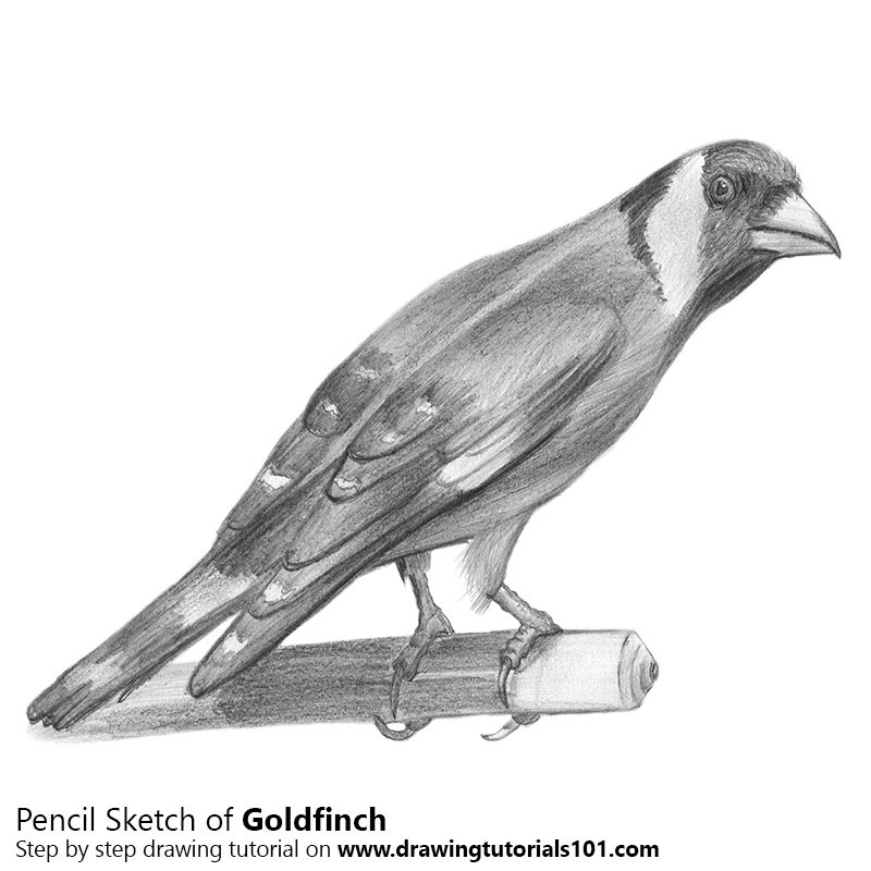 Goldfinch Color Pencil Drawing