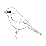 How to Draw a Great Grey Shrike