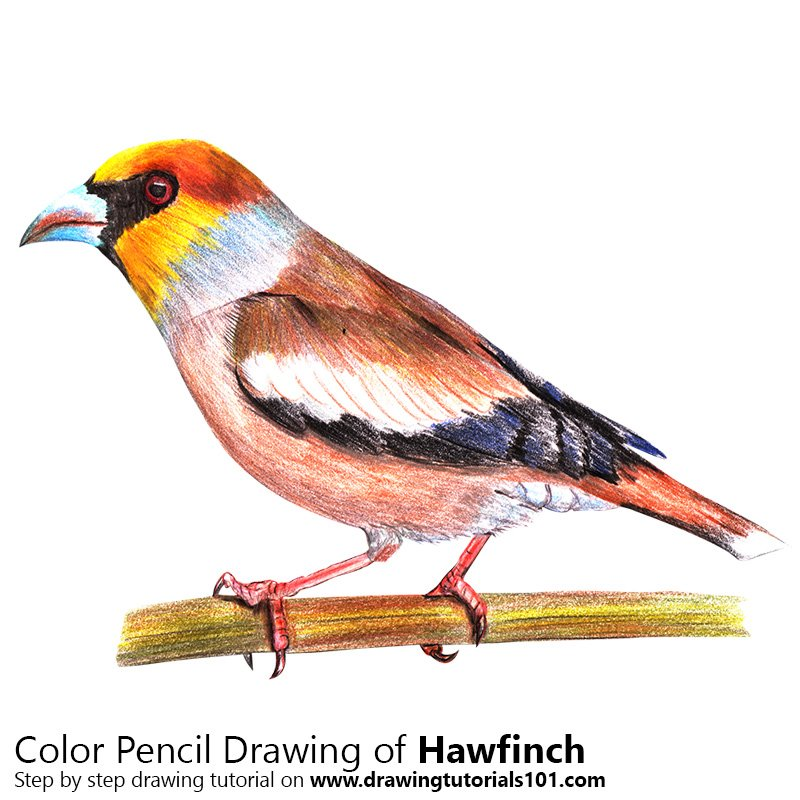 Hawfinch Color Pencil Drawing
