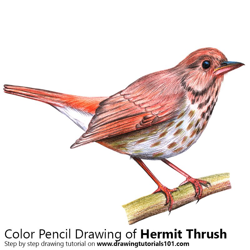 Hermit Thrush Color Pencil Drawing