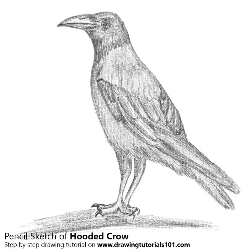 Pencil Sketch of Hooded Crow - Pencil Drawing