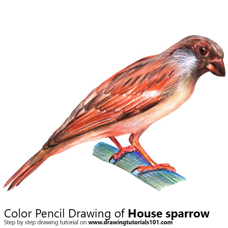 House Sparrow Color Pencil Drawing