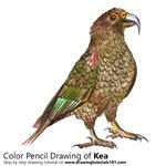 How to Draw a Kea