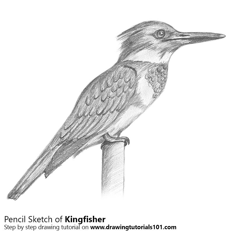 Pencil Sketch of Kingfisher - Pencil Drawing