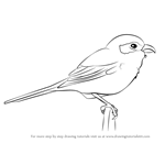 How to Draw a Loggerhead Shrike