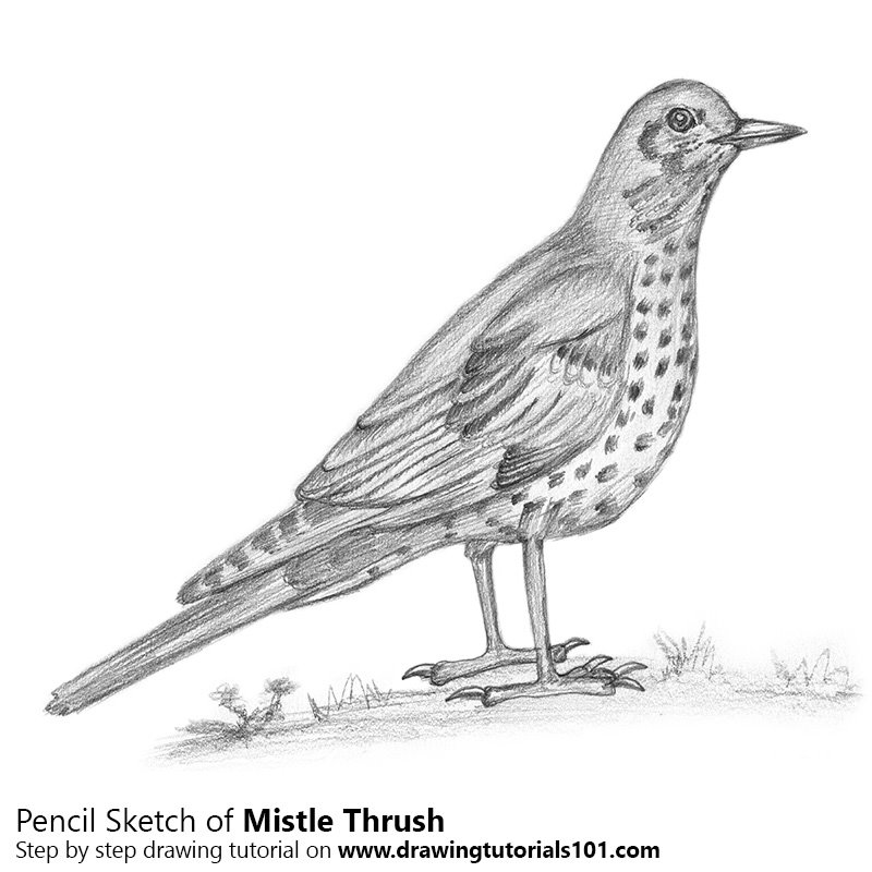 Pencil Sketch of Mistle Thrush - Pencil Drawing