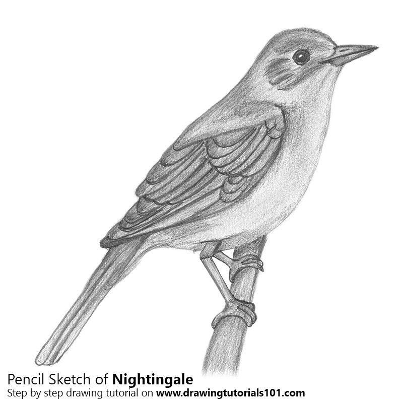 Pencil Sketch of Nightingale with Pencils - Pencil Drawing