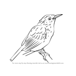 How to Draw an Orange-Bellied Antwren