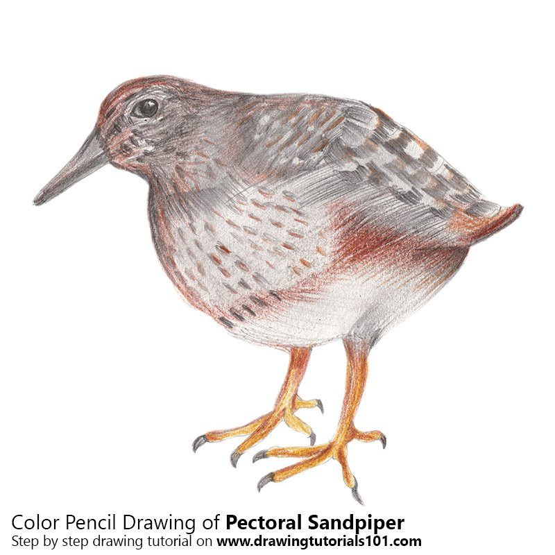 Pectoral Sandpiper Color Pencil Drawing