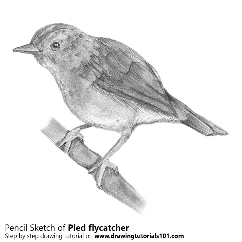Pencil Sketch of Pied Flycatcher - Pencil Drawing