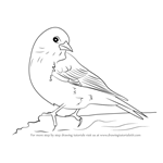 How to Draw a Pine Siskin