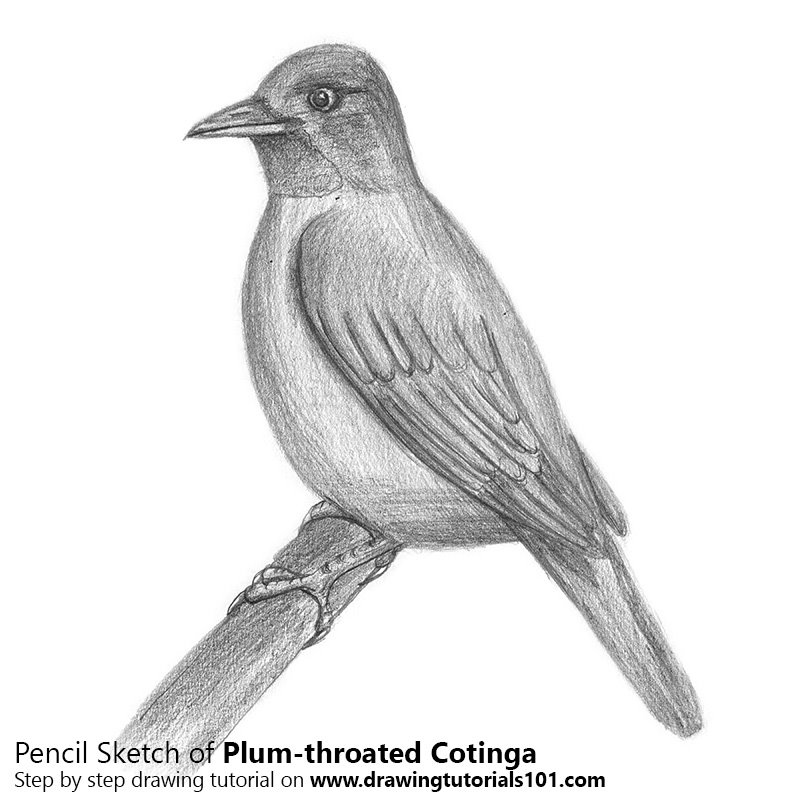 Pencil Sketch of Plum-throated Cotinga - Pencil Drawing