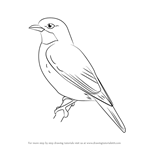 How to Draw a Plum-throated Cotinga