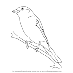 How to Draw a Red-Backed Shrike