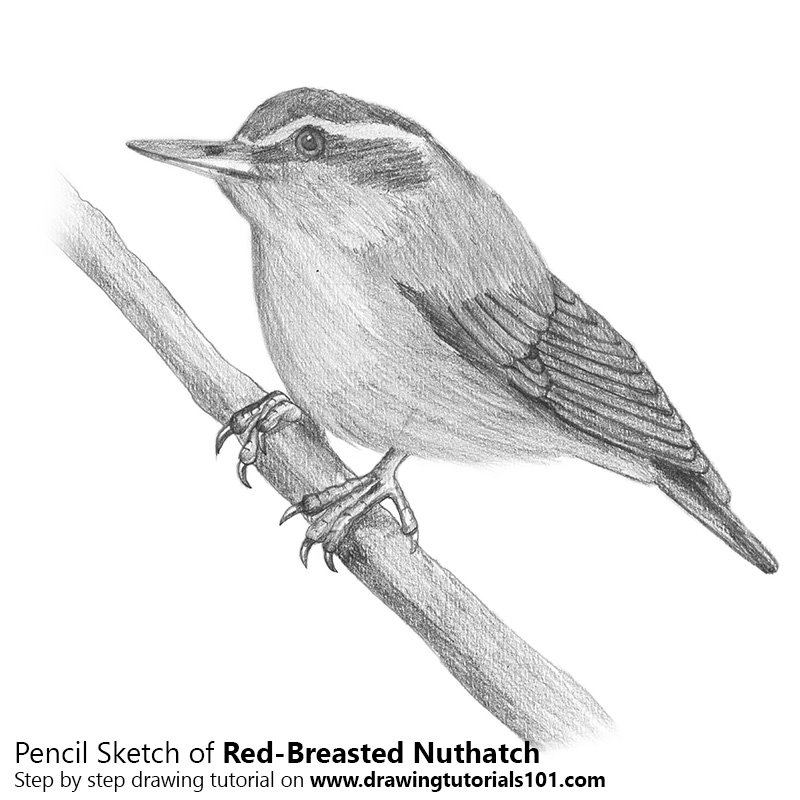 Pencil Sketch of Red-Breasted Nuthatch - Pencil Drawing