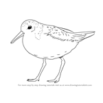 How to Draw a Red Knot