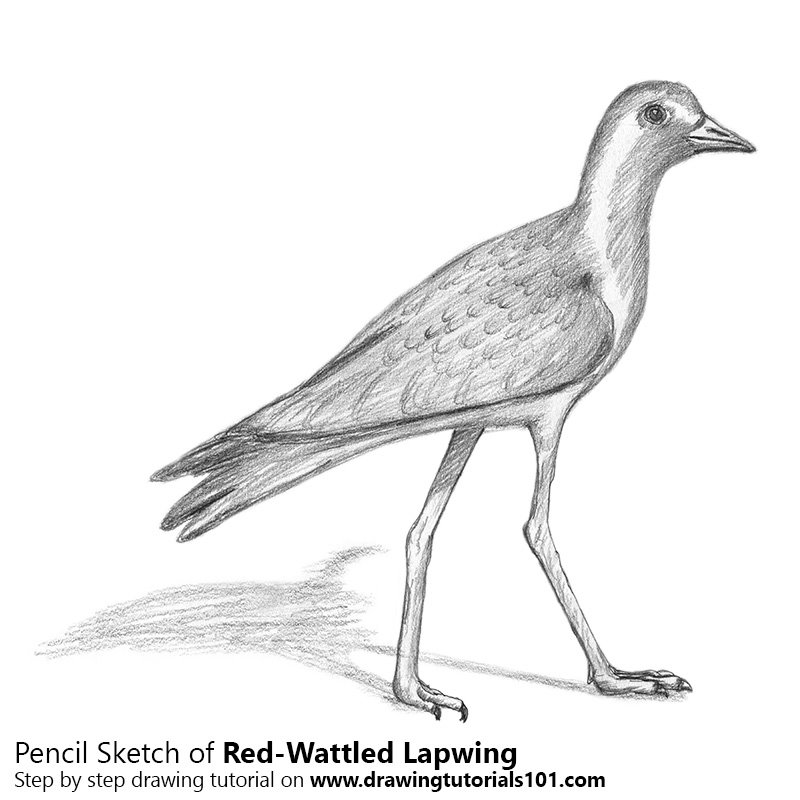 Pencil Sketch of Red-wattled Lapwing - Pencil Drawing