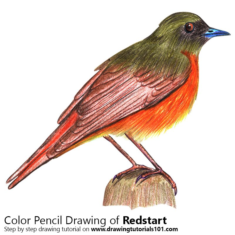 Redstart Color Pencil Drawing