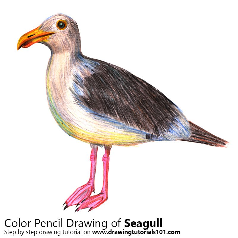Seagull Color Pencil Drawing