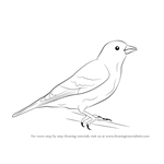 How to Draw a Siskin