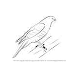 How to Draw a Sparrowhawk