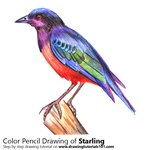 How to Draw a Starling
