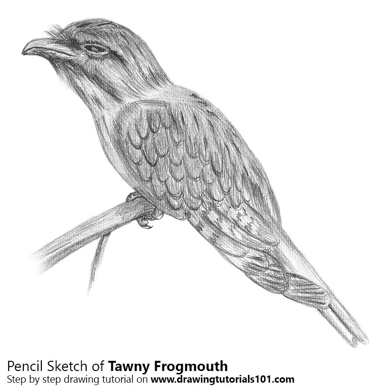 Pencil Sketch of Tawny Frogmouth - Pencil Drawing
