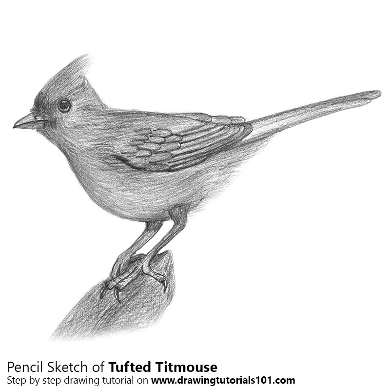 Pencil Sketch of Tufted Titmouse - Pencil Drawing