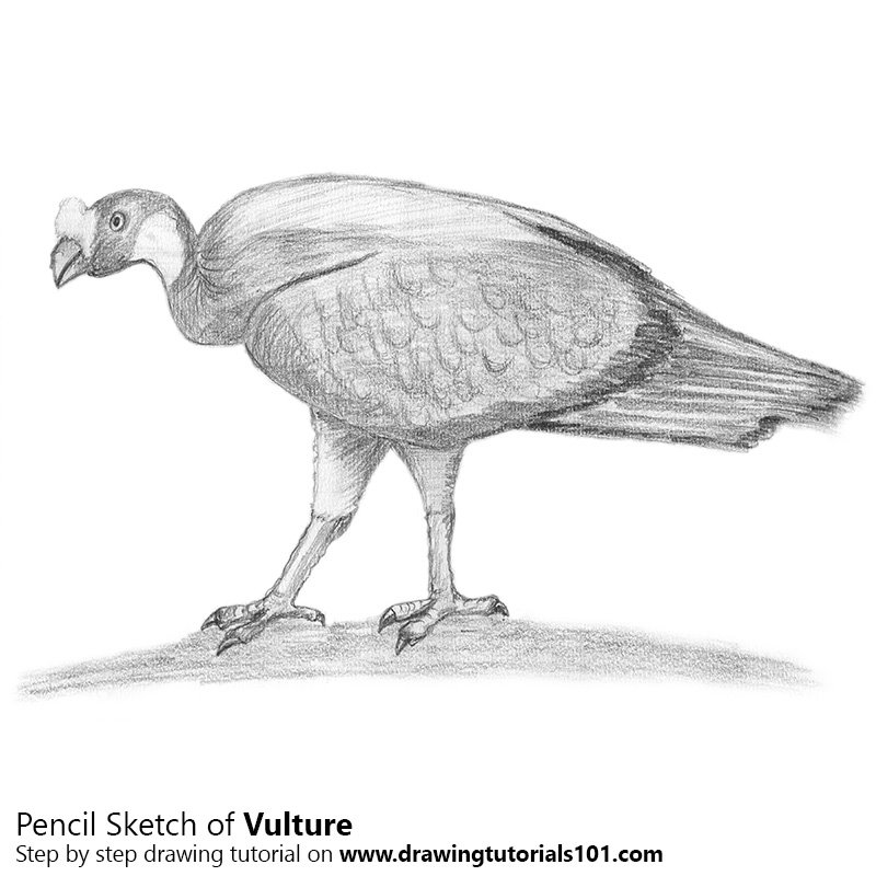 Pencil Sketch of Vulture - Pencil Drawing