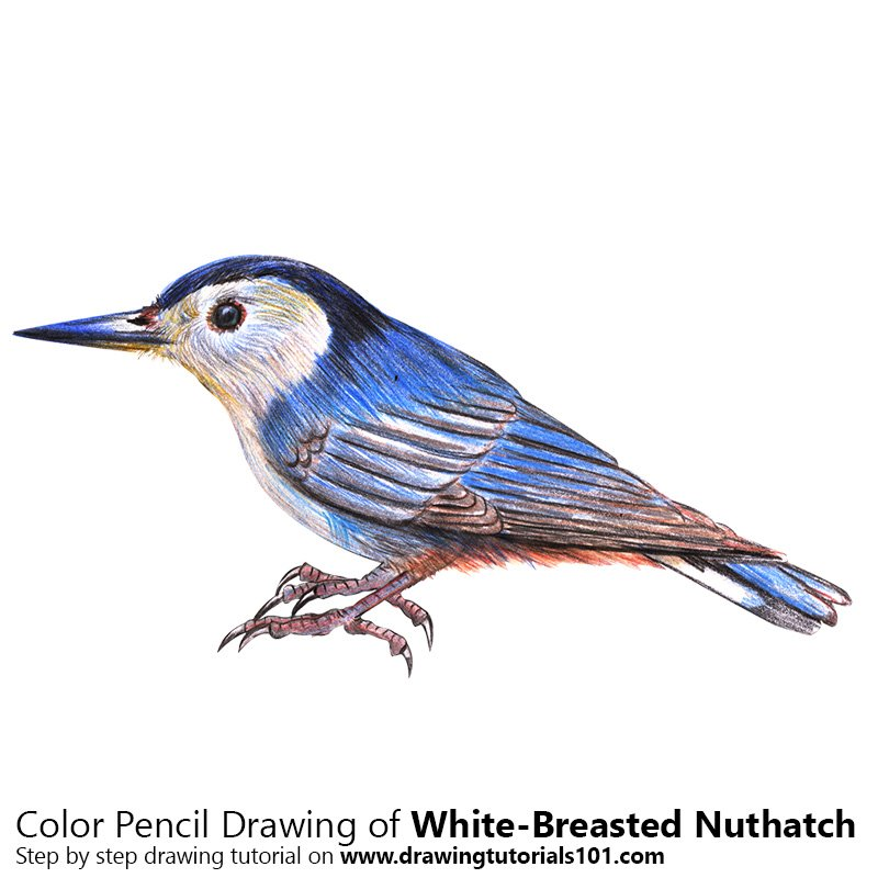 White-Breasted Nuthatch Color Pencil Drawing