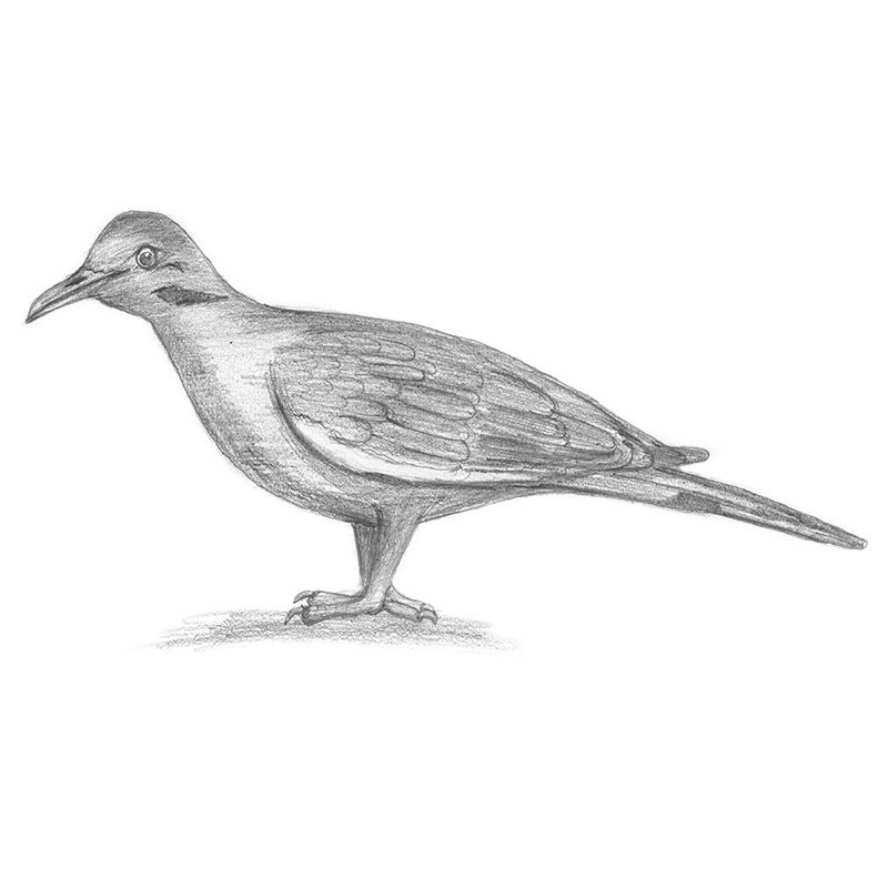 Pencil Sketch of White-Winged Dove - Pencil Drawing
