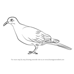 How to Draw a White-Winged Dove