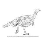 How to Draw a Wild Turkey