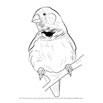 How to Draw a Zebra finch