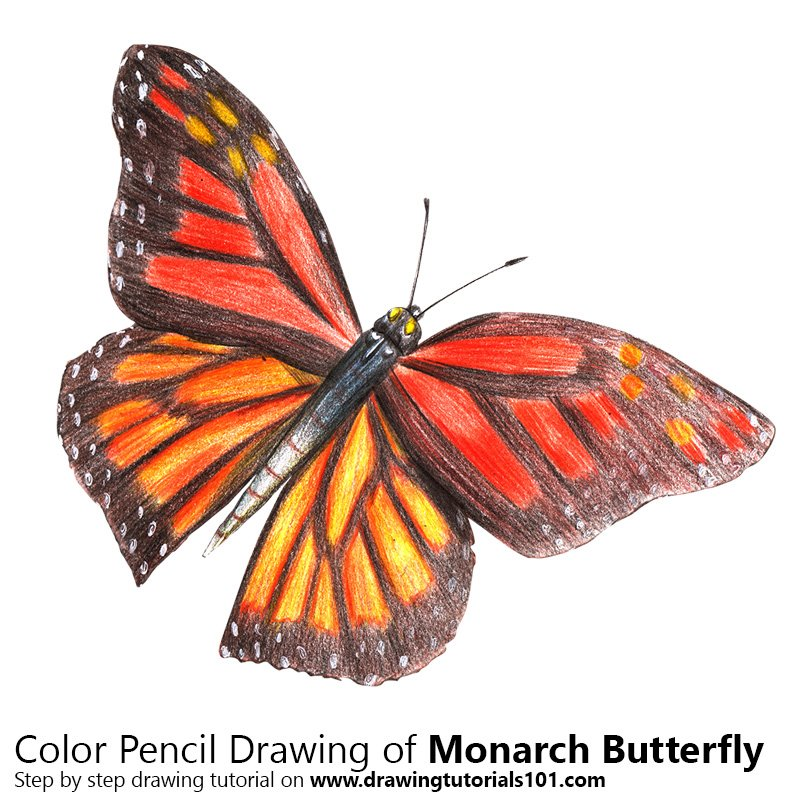Monarch Butterfly Color Pencil Drawing