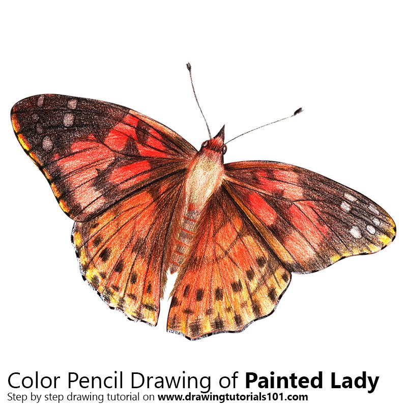 Painted Lady Color Pencil Drawing