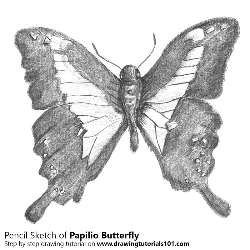 Pencil Sketch of Papilio Butterfly - Pencil Drawing