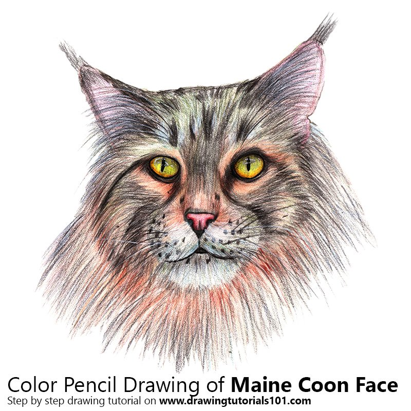 Maine Coon Face Color Pencil Drawing