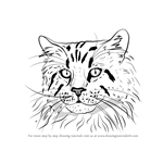 How to Draw a Maine Coon Face