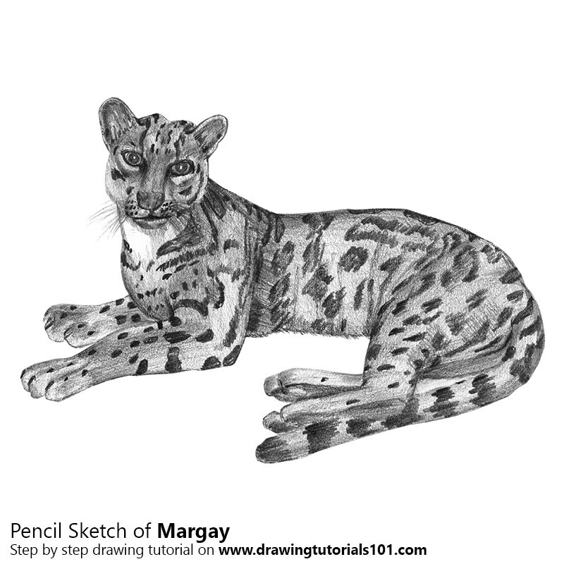 Pencil Sketch of Margay - Pencil Drawing