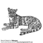 How to Draw a Margay