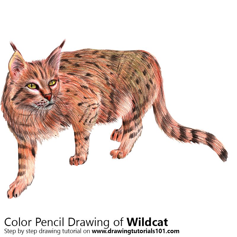 Wildcat Color Pencil Drawing