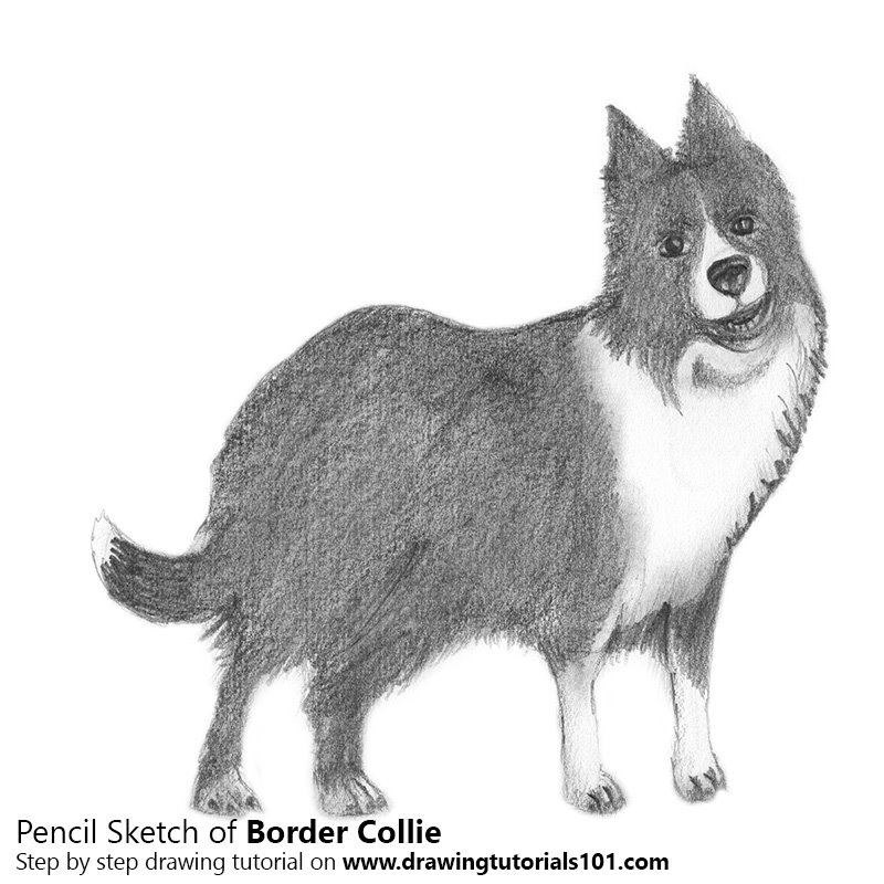 Pencil Sketch of Border Collie - Pencil Drawing
