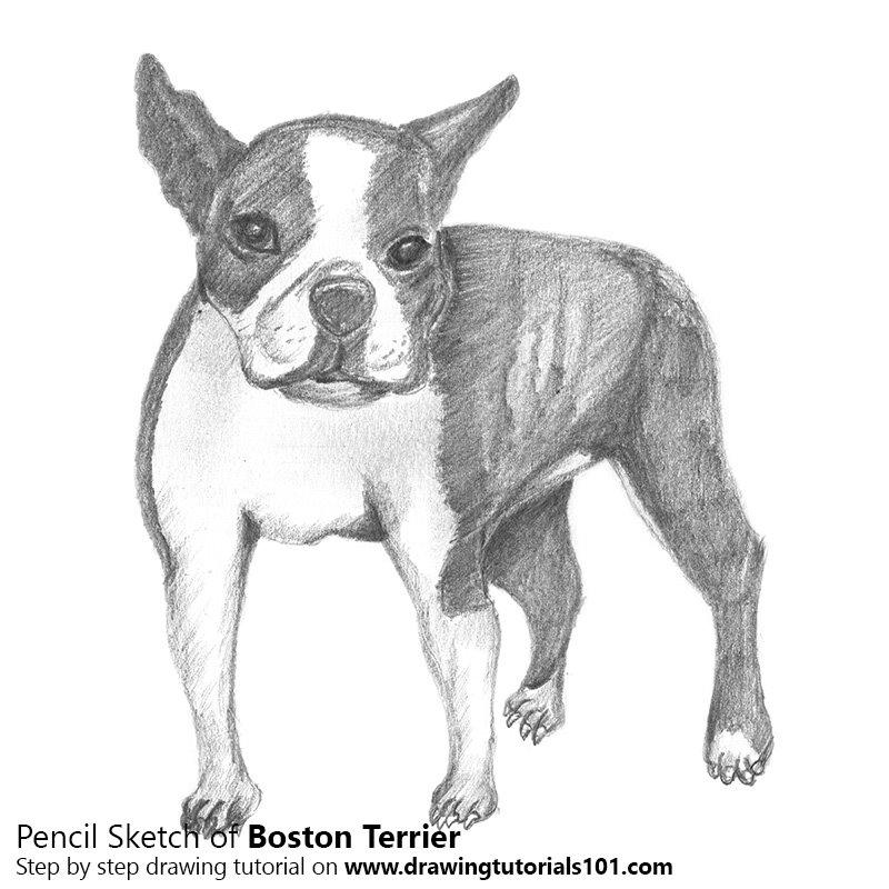 Pencil Sketch of Boston Terrier - Pencil Drawing