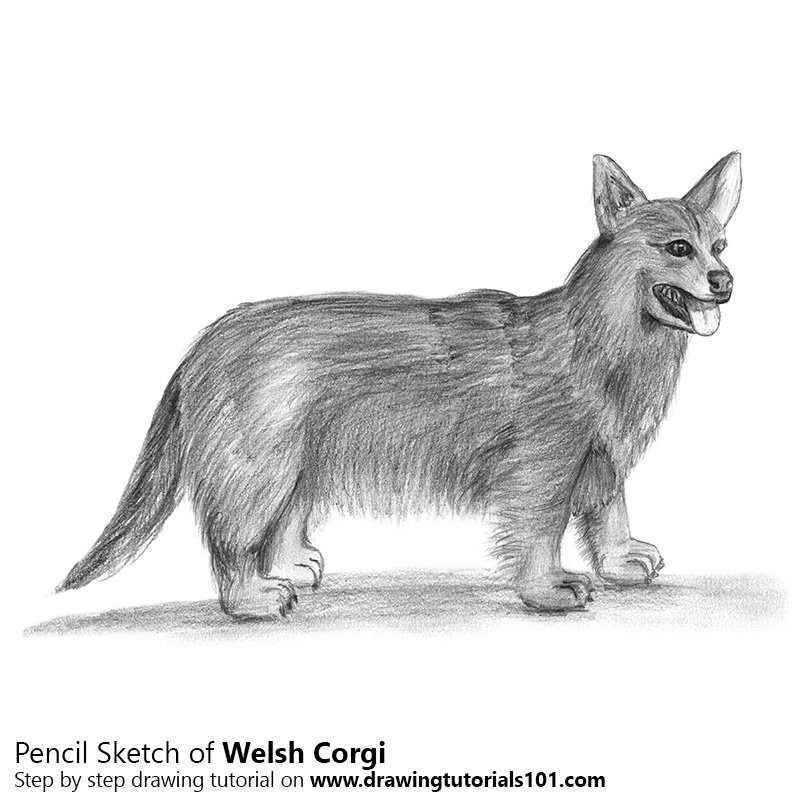 Pencil Sketch of Welsh Corgi - Pencil Drawing