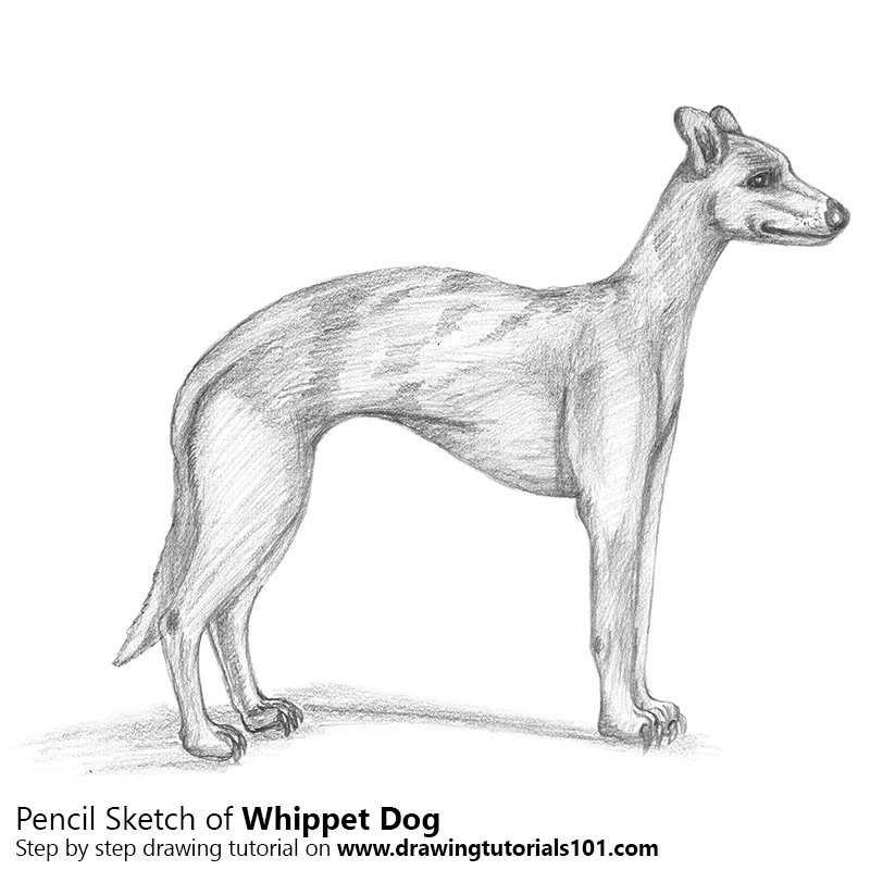 Pencil Sketch of Whippet - Pencil Drawing